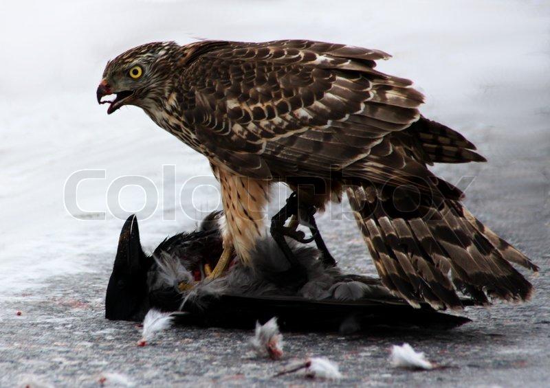 3438803-563501-a-goshawk-eating-a-crow.jpg