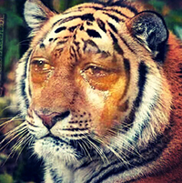 crying_tiger-200x200.jpg