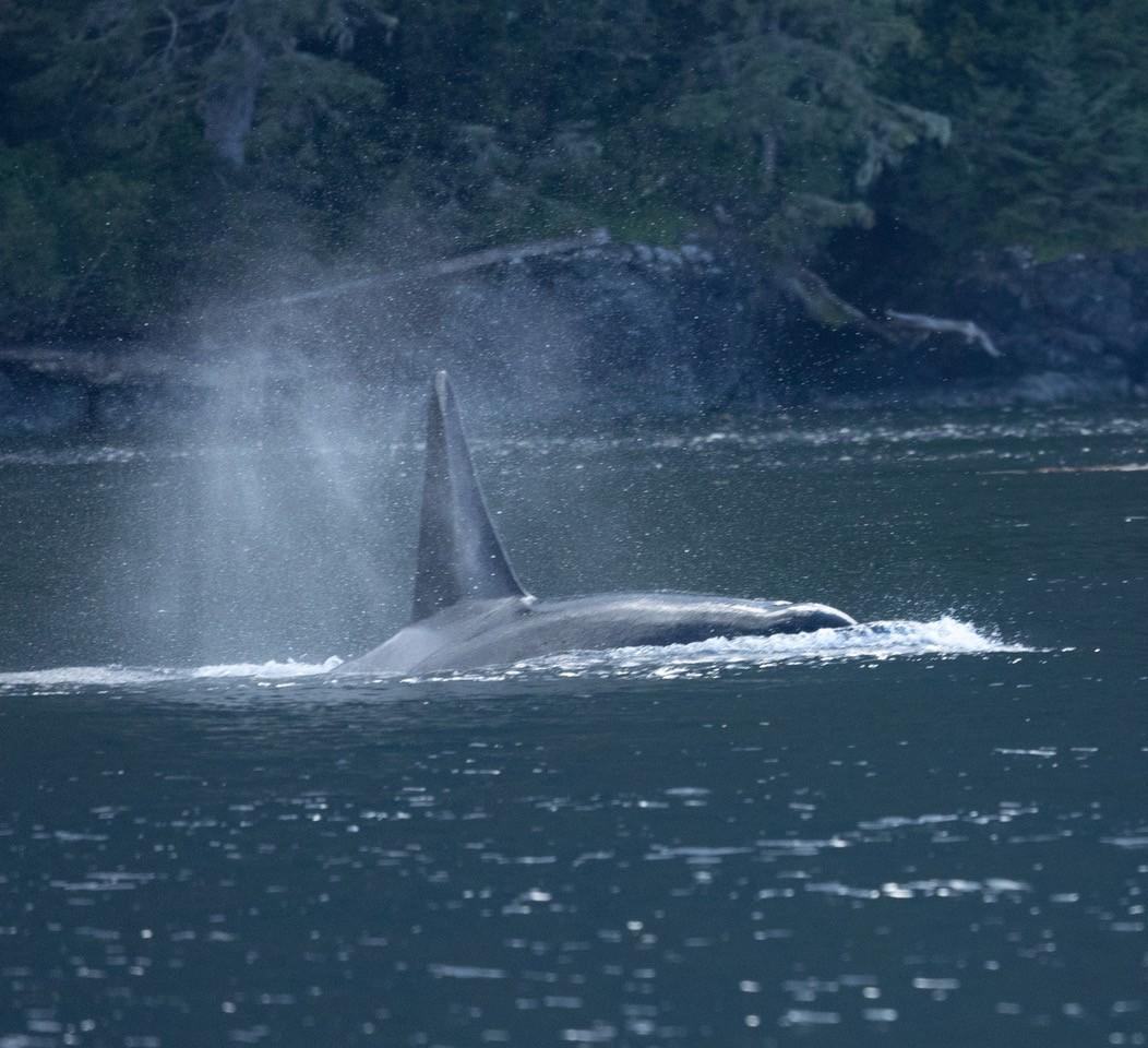 Orca1.jpeg