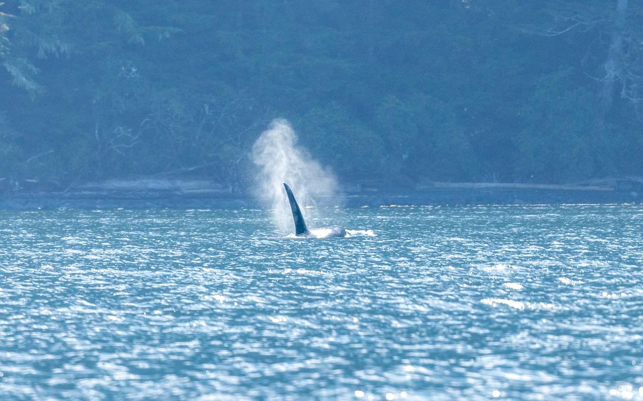 Orca3.jpeg