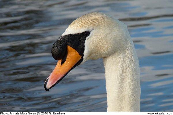 swan003.jpg