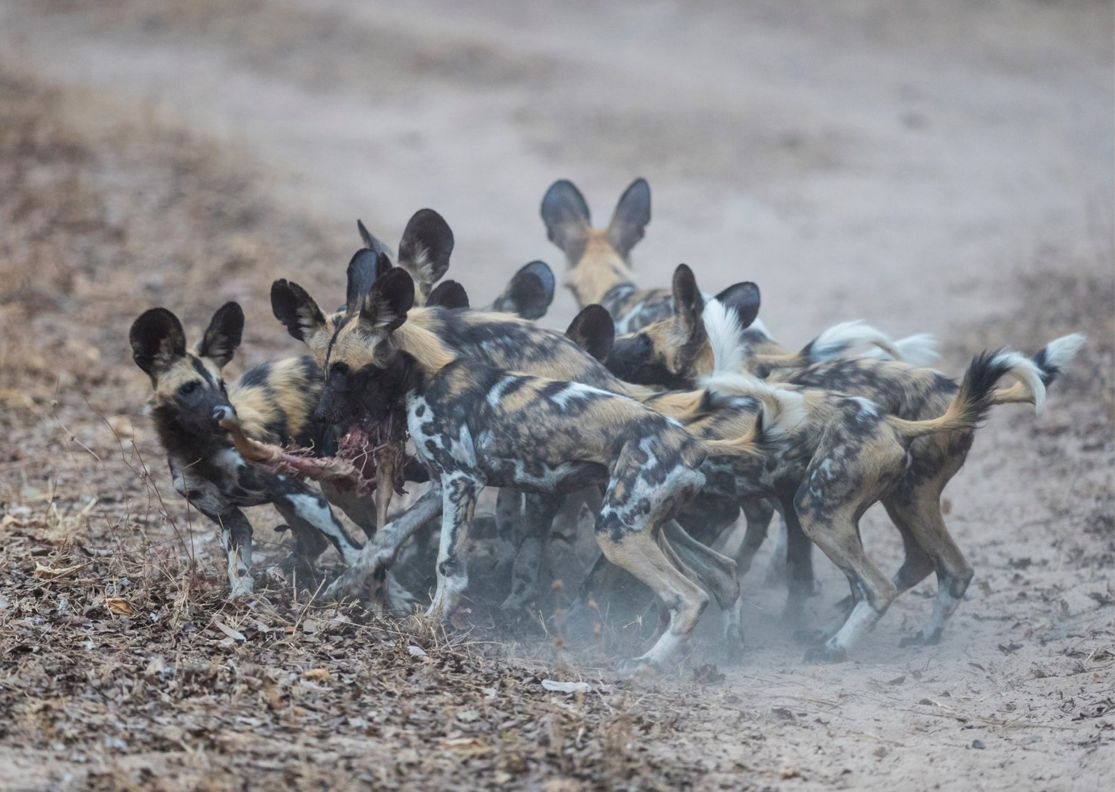 Wild dog midfield.jpg