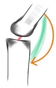 With an ACL: the femur rotates on the tibia when bending