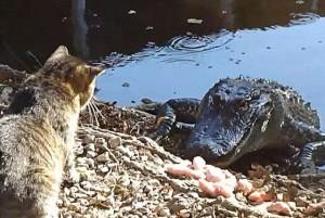 Cat and alligator